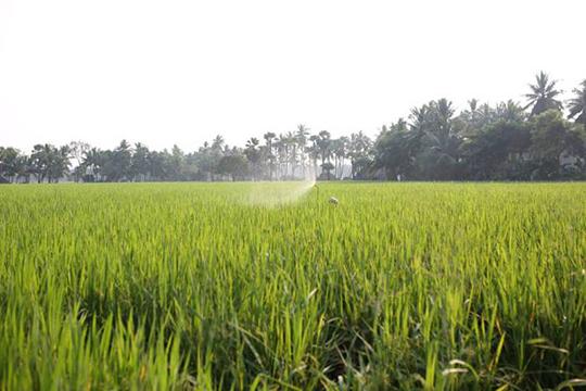 achanta-rice-paddy.jpg