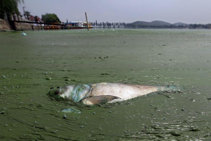 Peces muertos en el agua rica en algas del lago East, Wuhan. Foto: Reuters