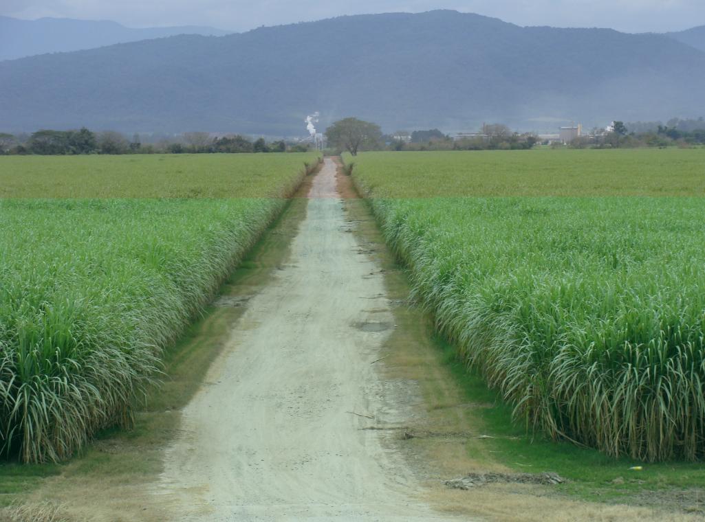 Campos de cultivo de caña de azúcar