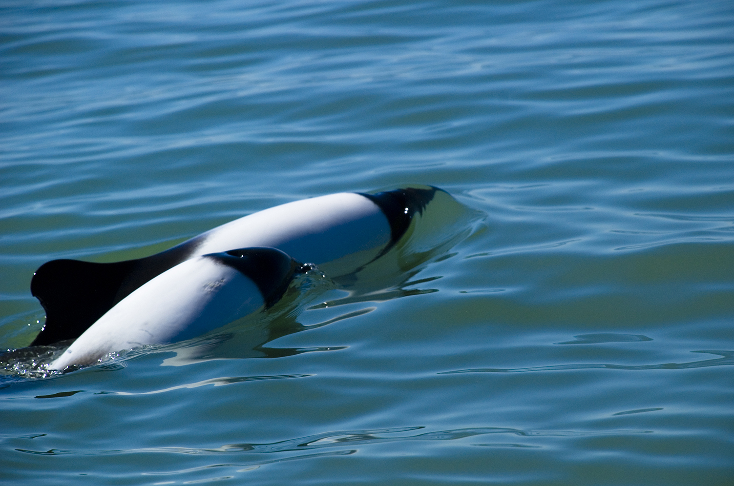 Commerson Dolphins, Argetina