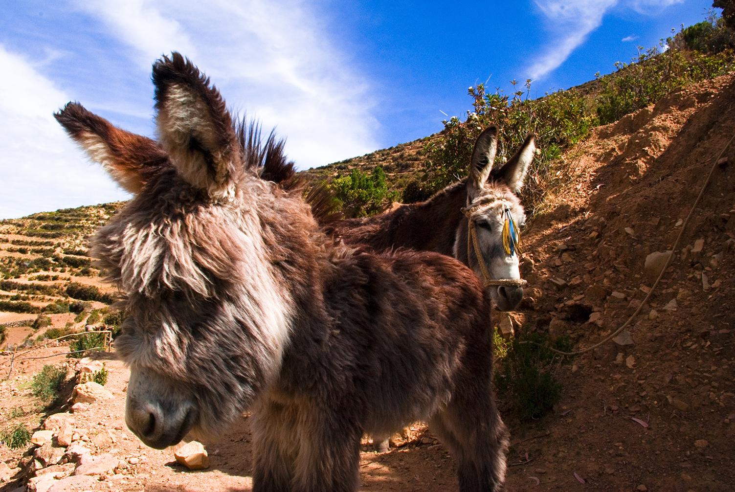 Donkeys on Isla del Sol, Lake Titicaca