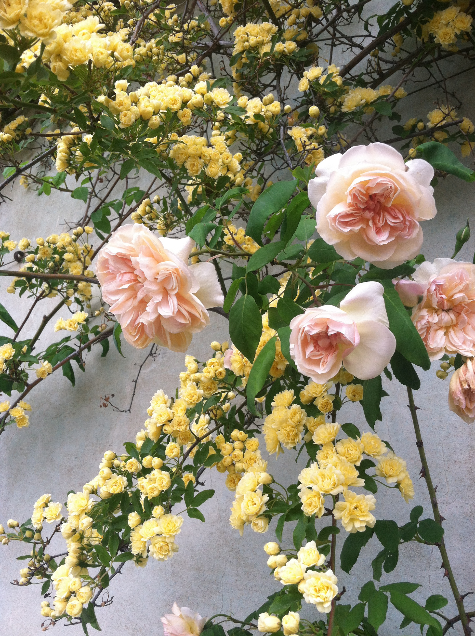 roses in italy - florence