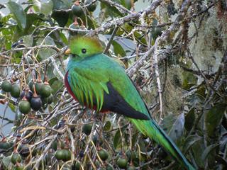 Resplendent Quetzal. CC. Frank Vassen