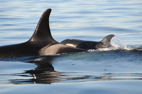 Photo by Dave Ellifrit, Center for Whale Research