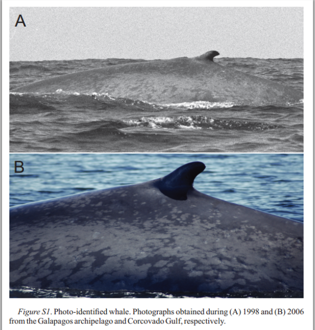 Isabella in the Galapagos in 1998, at top, and in the Gulf of Corcovado in 2006. Torres-Flores et al, Marine Mammal Science, 2015