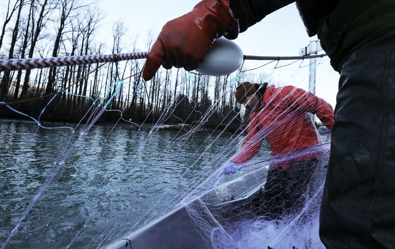 Tribal fisherman Larry Peterson, left, and Mike Bartlett, a nontribal resources worker, haul in a net Thursday [December 7] on the Skagit River. (Alan Berner/The Seattle Times)