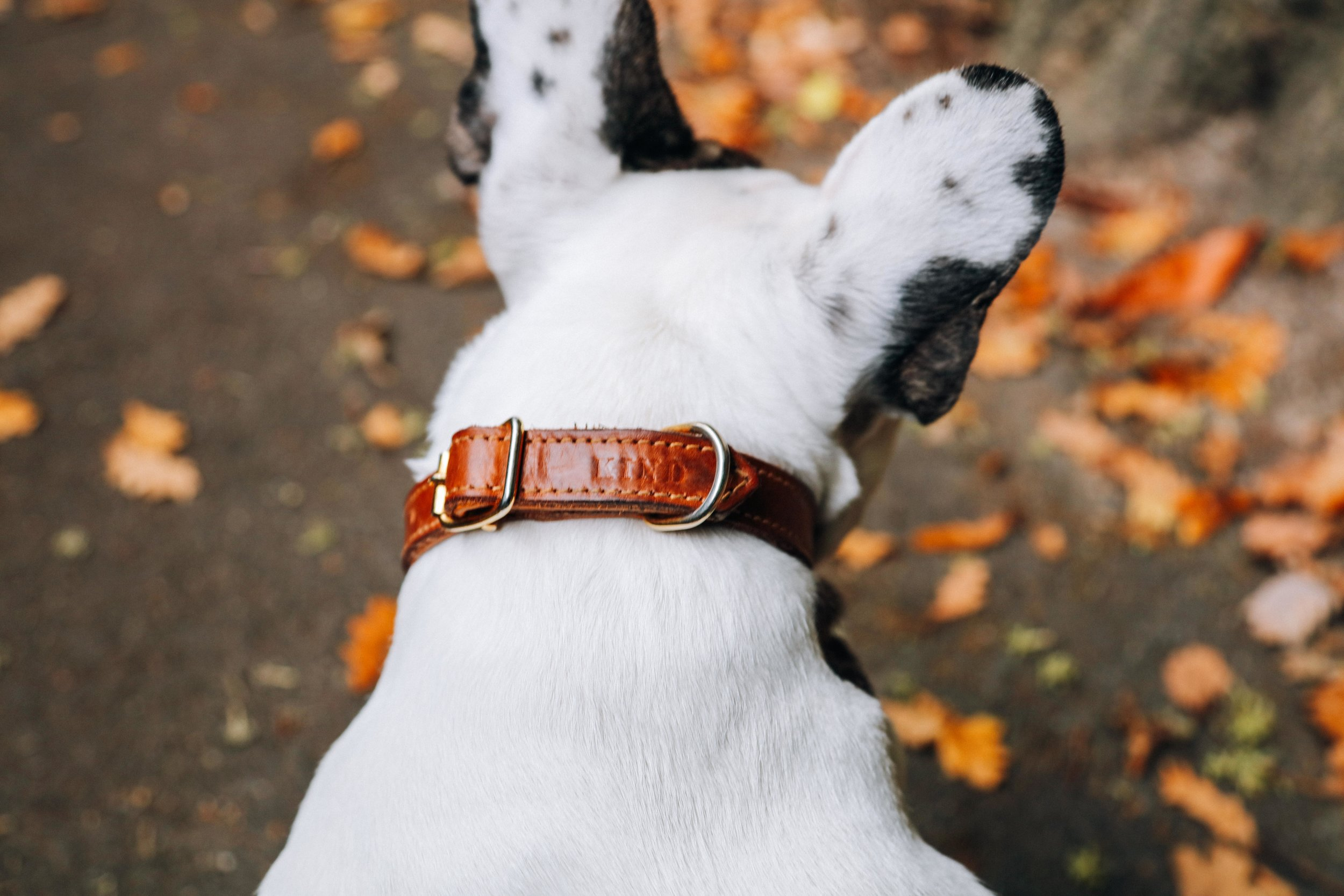 Billion-frenchie-leather lead-london-63.jpg