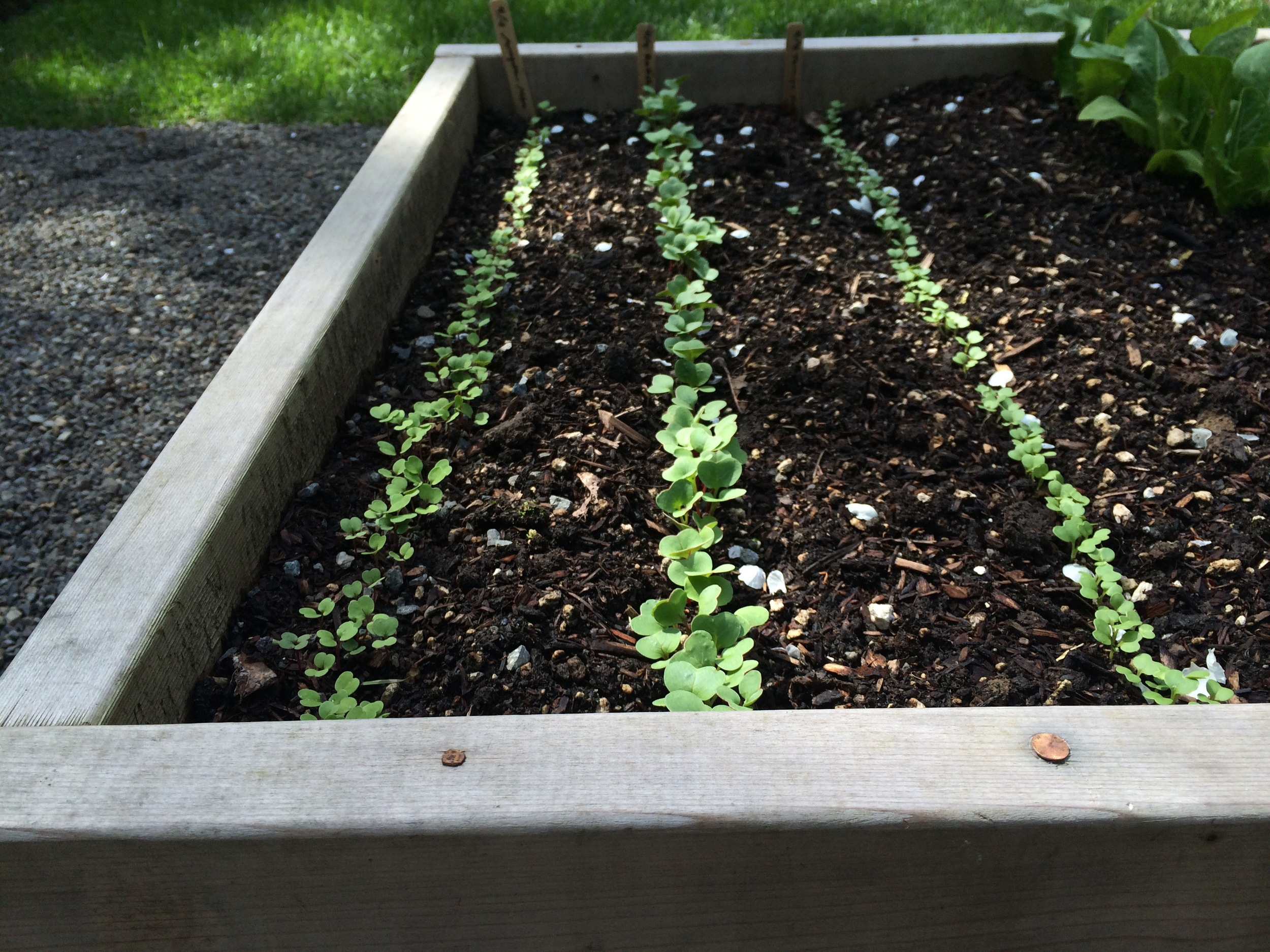 Germinated arugula, radishes, and turnips in one of our raised beds