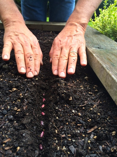 He covers the beans back to the original soil level and tamps down the soil lightly to encourage good seed to soil contact.