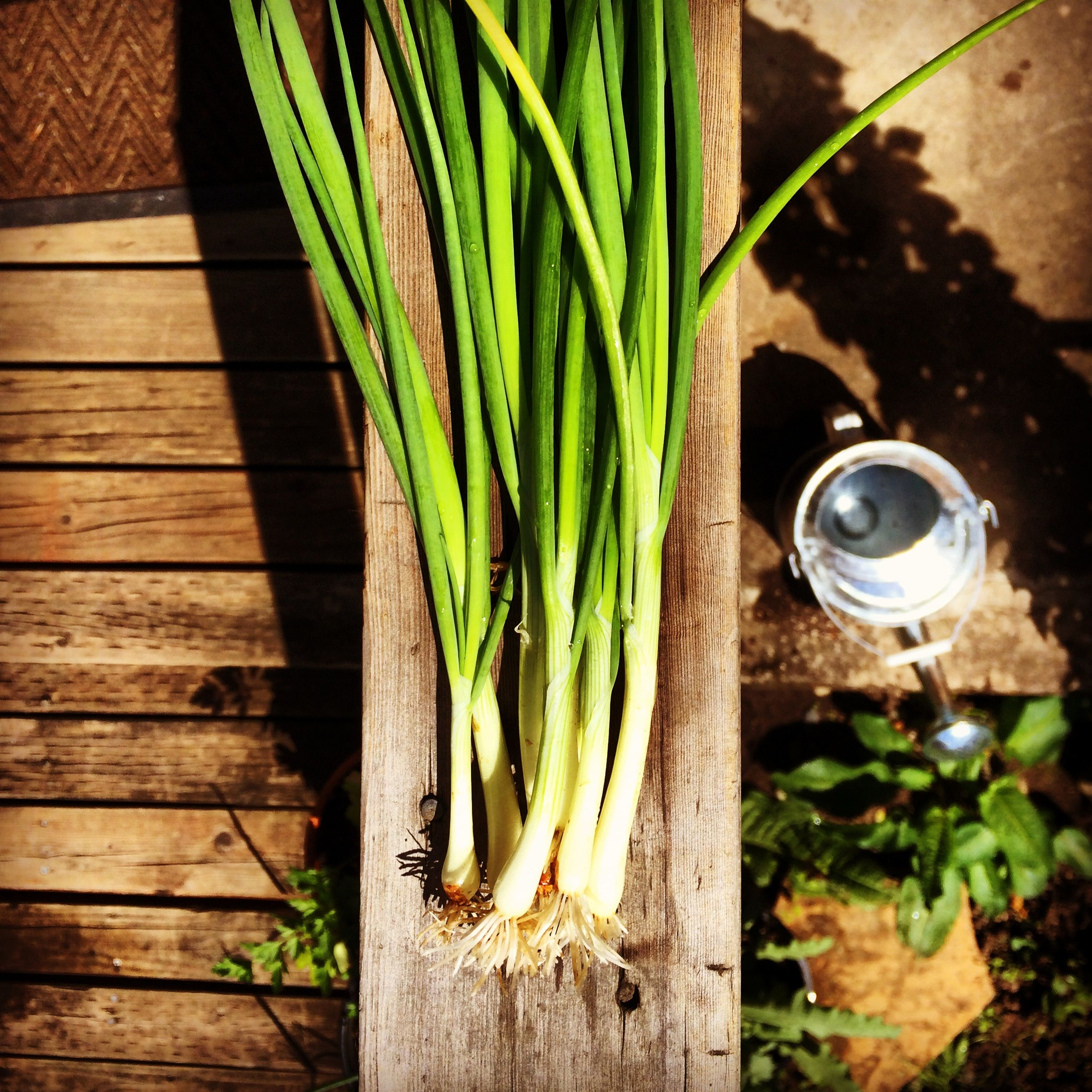 Scallions from my kitchen garden