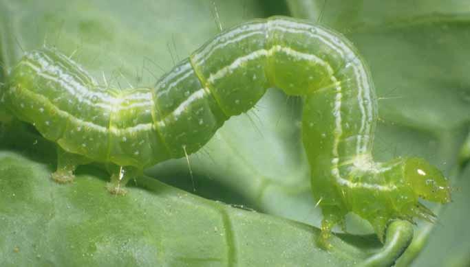 Close up of mature Cabbage Looper larvae