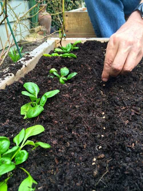 Planting Spinach Seeds