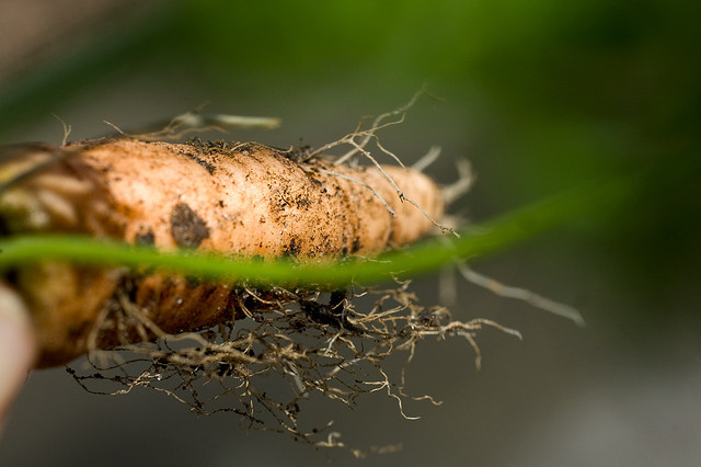 Root Vegetables like carrots, have very delicate taproots that are traumatized and damaged when transplanted.  For this reason, root vegetables are  much  happier being grown from seeds.