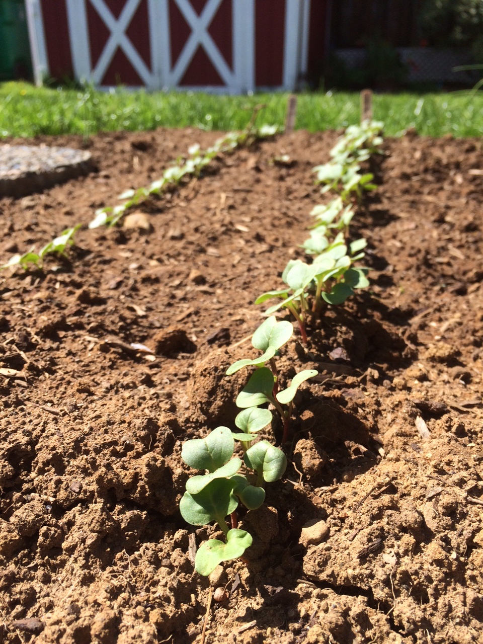 Radishes germinating in freshly tilled garden beds