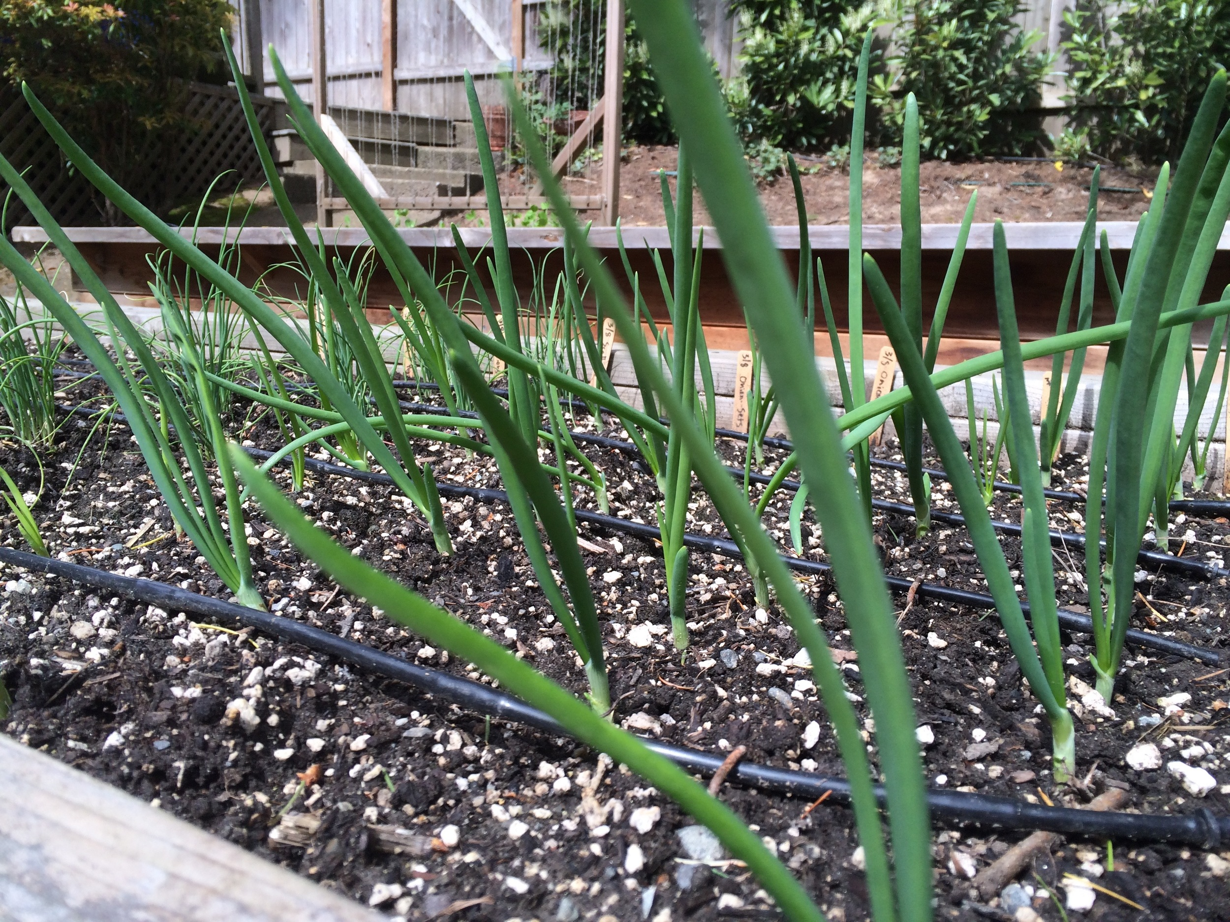 Onion Sets are great for early planting and an early harvest!