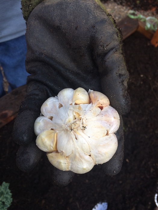 Softneck garlic has irregular cloves, lacks a rigid central stock, milder flavor and stores longest (up to 9 months!)