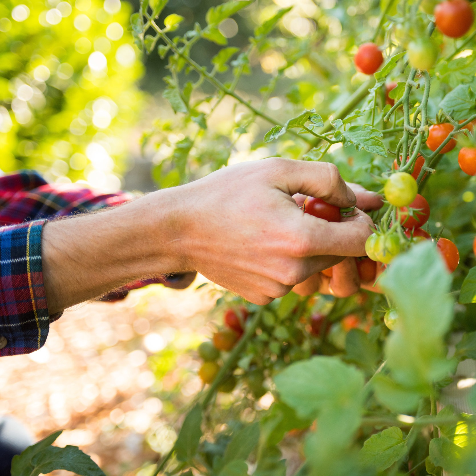 Picking+Cherry+Tomatoes
