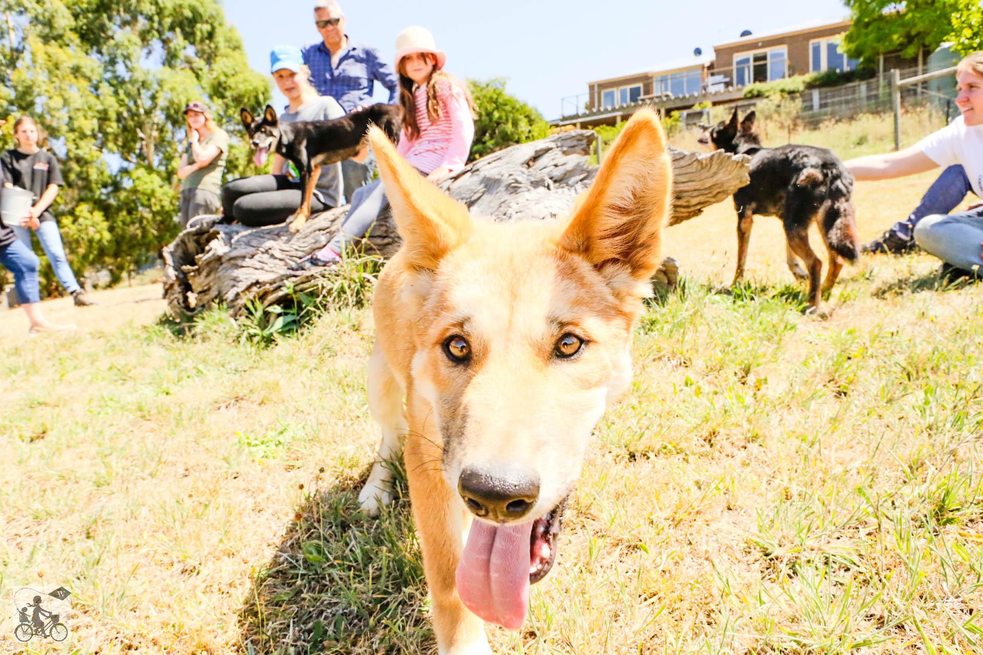 Dingo Discovery Centre - Mamma Knows West