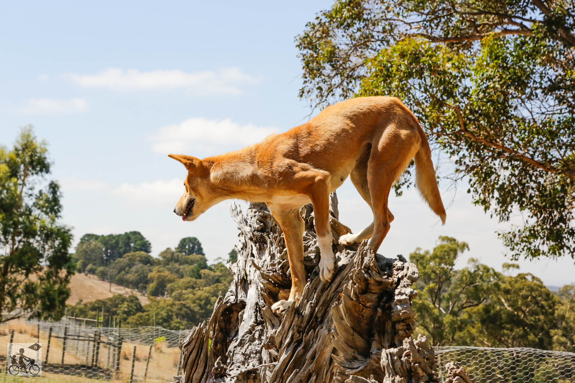Mamma Knows West - Dingo Discovery Sanctuary (32 of 51).jpg