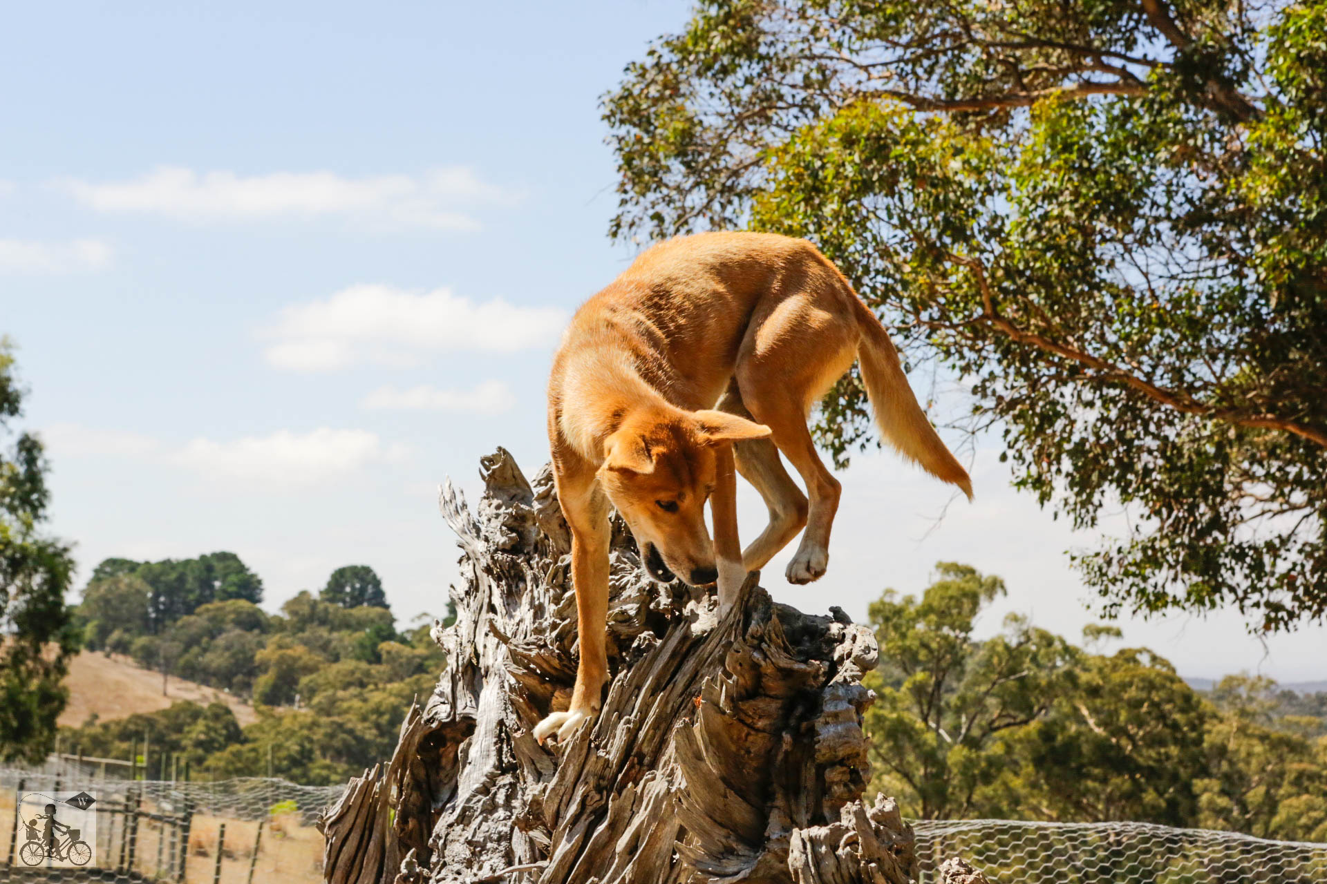 Mamma Knows West - Dingo Discovery Sanctuary (34 of 51).jpg
