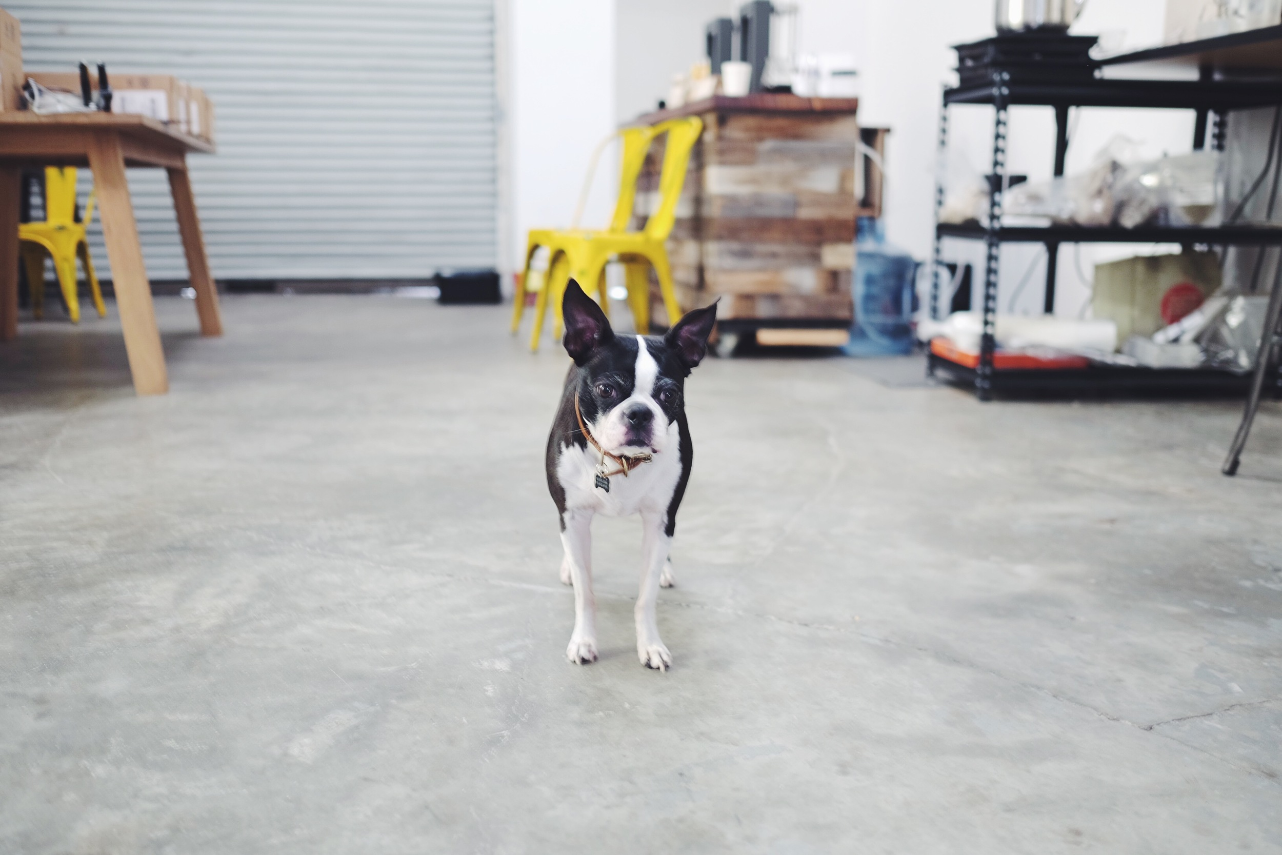 Olive the Boston Terrier