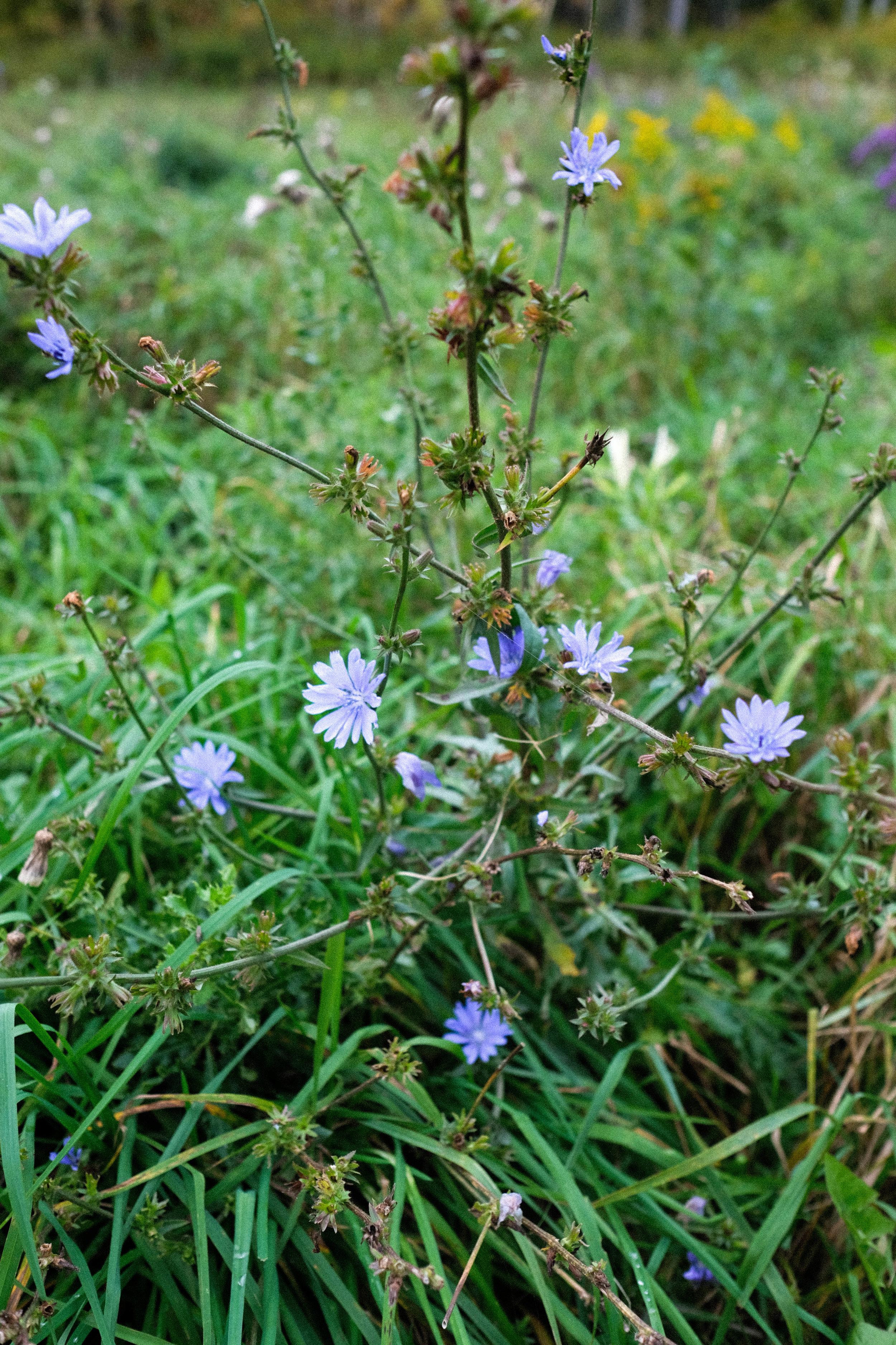 Chicory-81.jpg