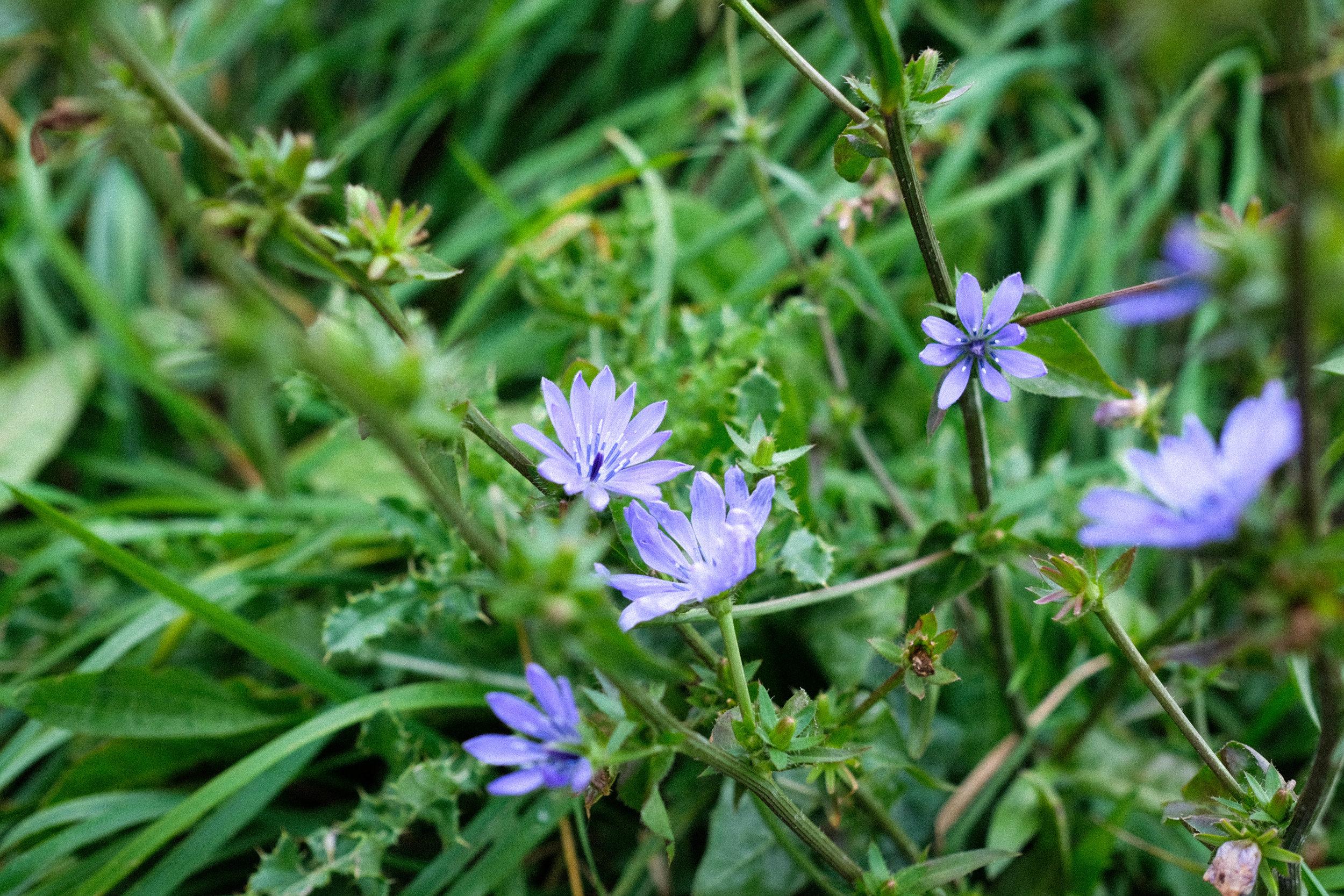Chicory-88.jpg