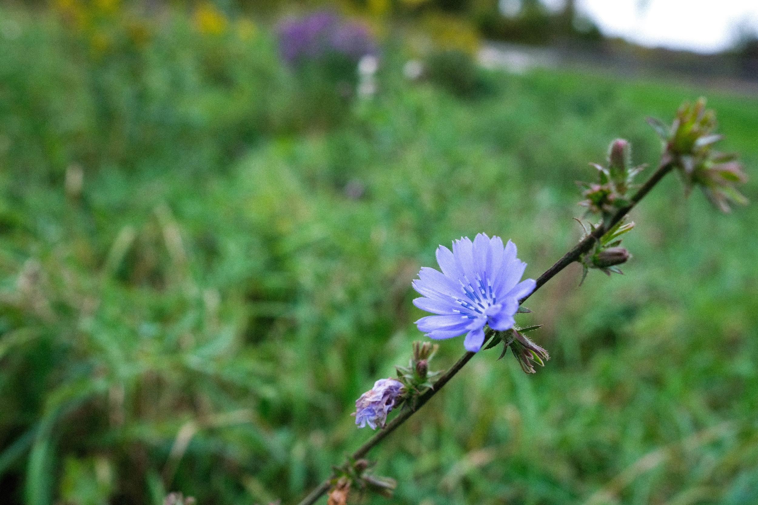 Chicory-57.jpg