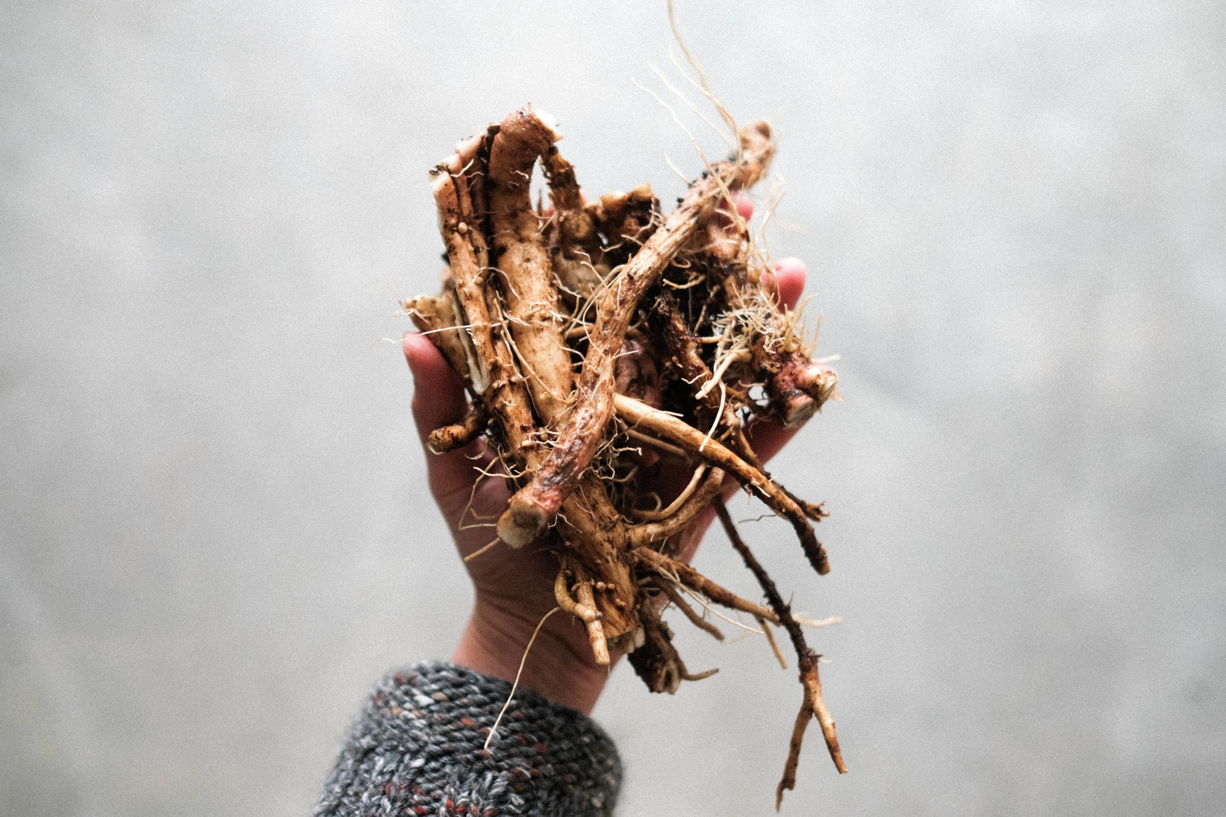 Chicory-4.jpg