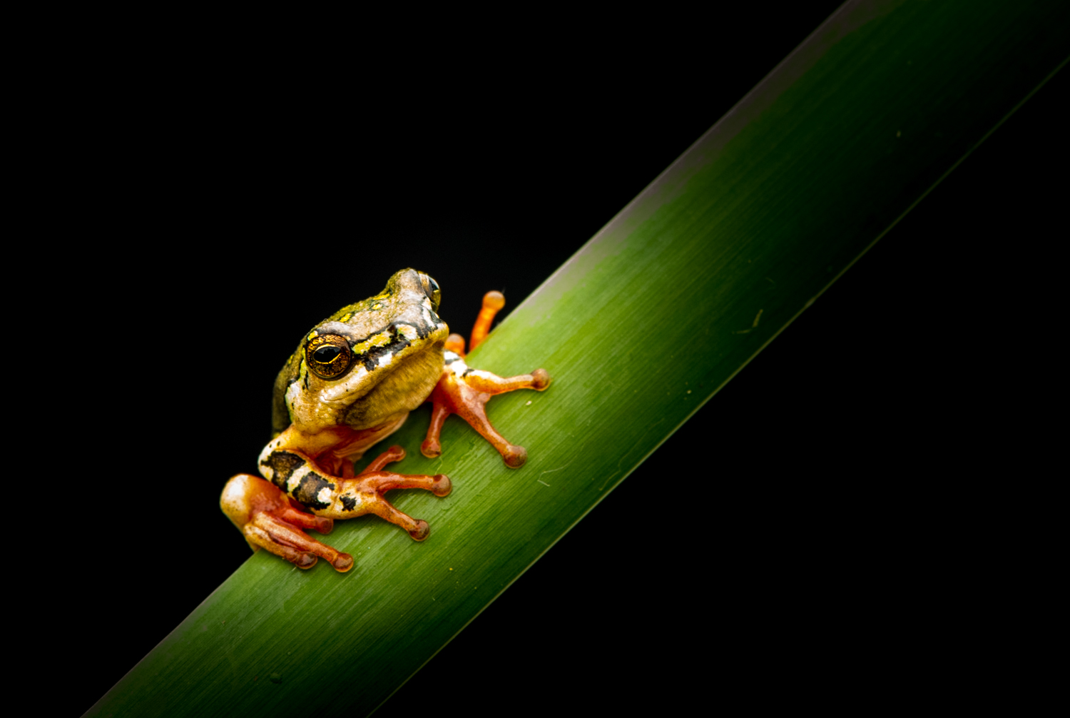 African tree frog 2