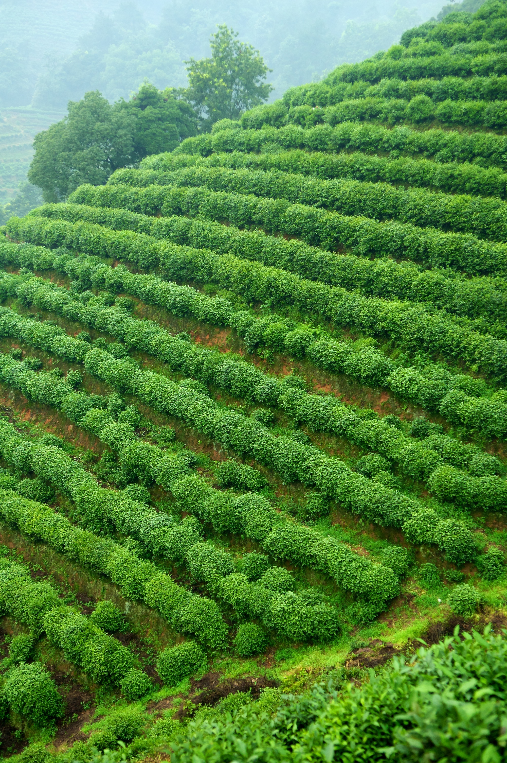 Longjing tea trees