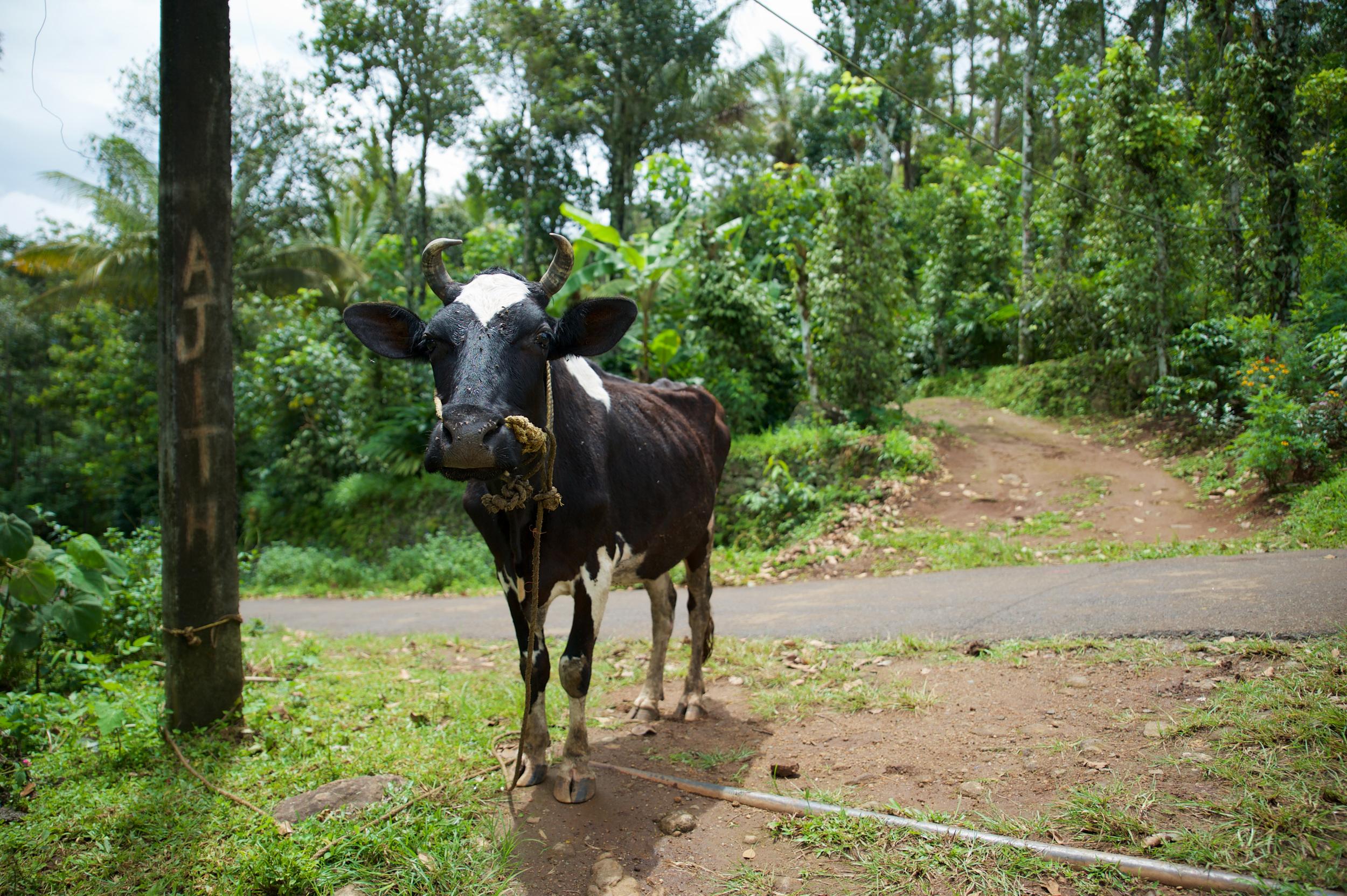 The compulsory cow photo