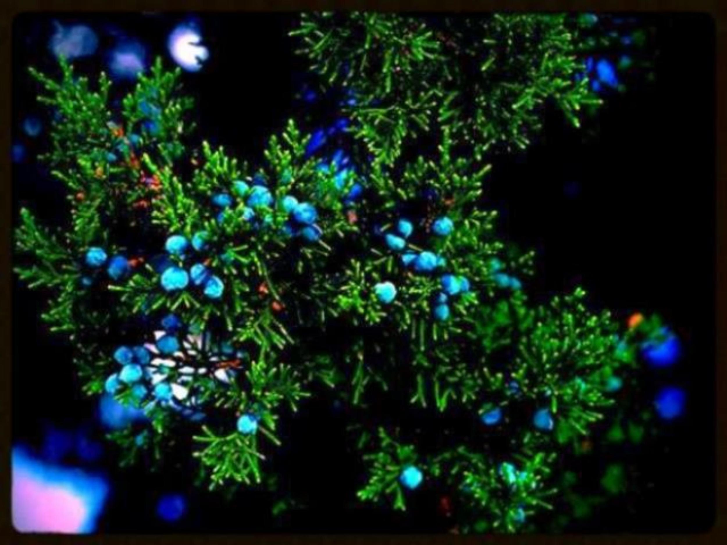 Cedar tree berries.jpg