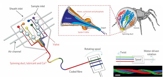 Silk spun by spiders can be mimicked by a microfluidic chip combining different streams. The streams used encode the microfibers in series or parallel when twisted with other microfibers.