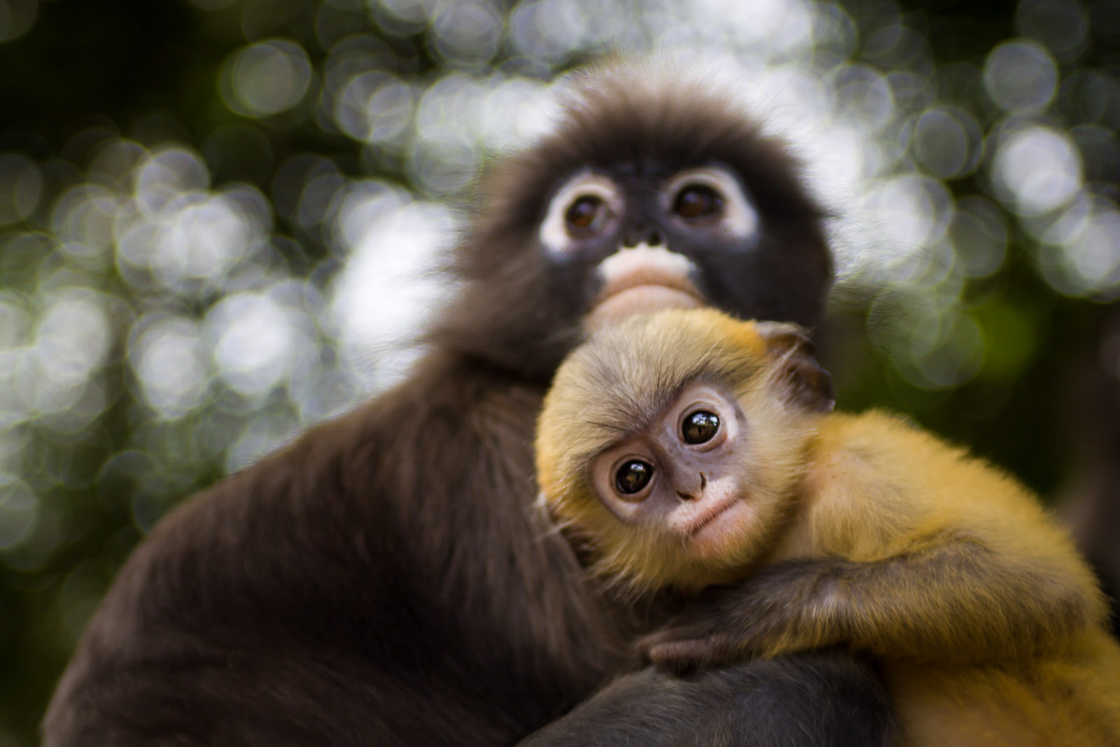 Langur-Monkeys.jpg