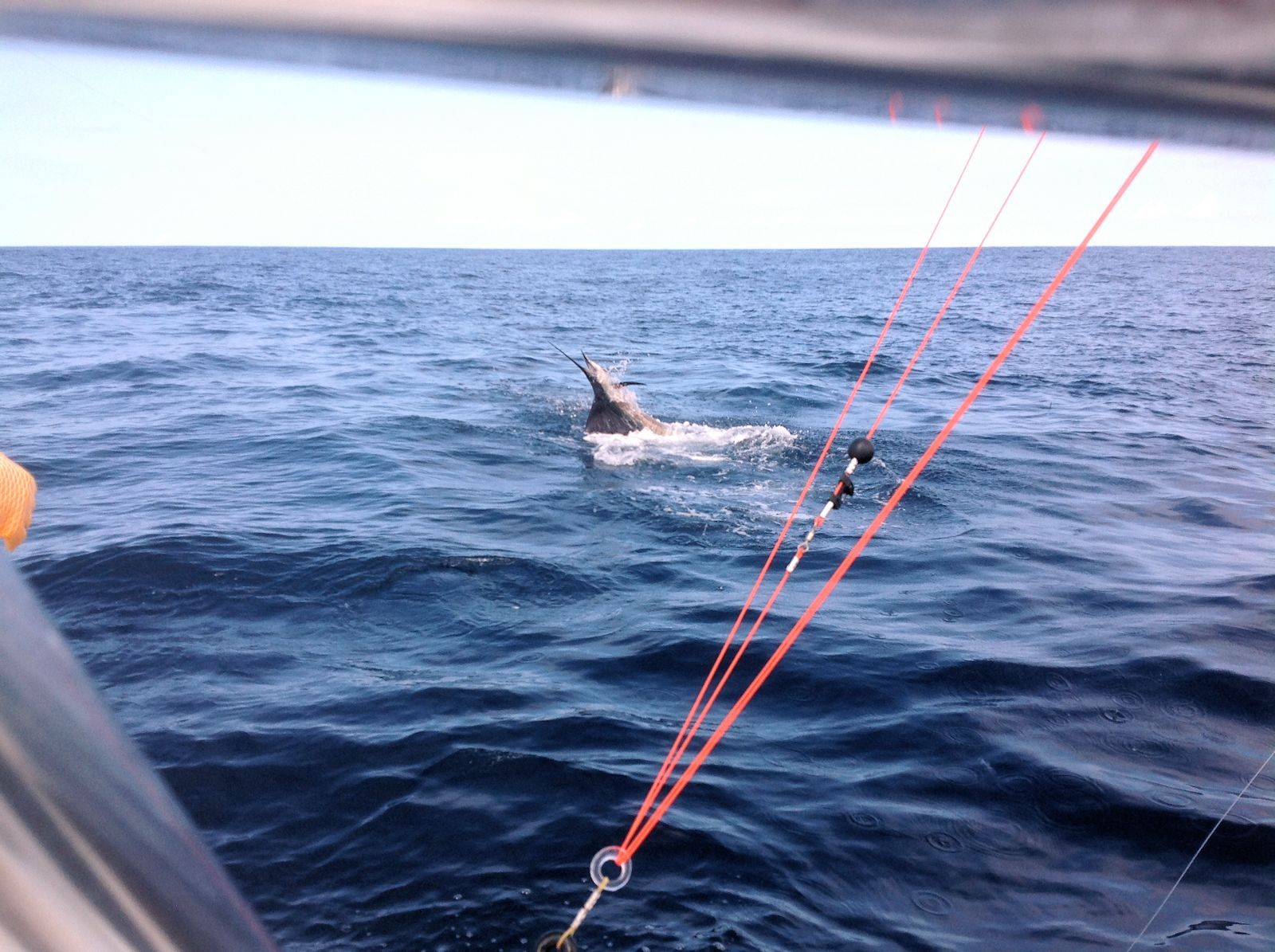 Sailfish being hauled in by the Carnes party.