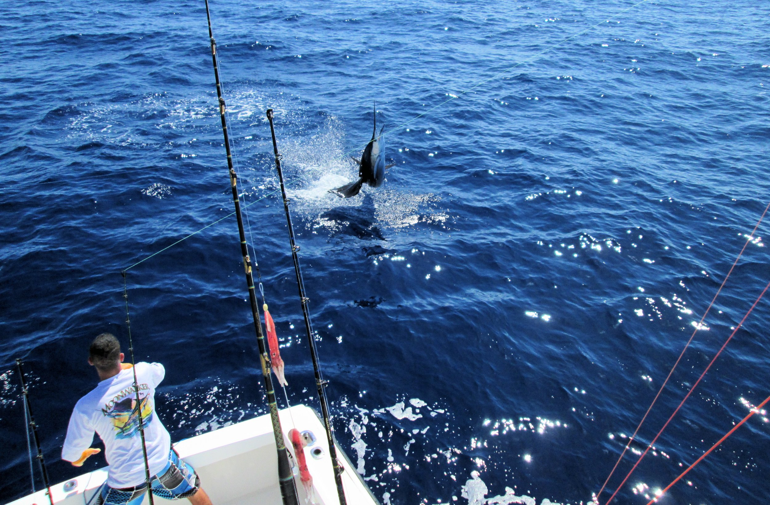 Chris Elken aboard the MoonWalker today released 1 Sailfish at 50 miles. The fleet all experiencing the same today. Far distance, low numbers.