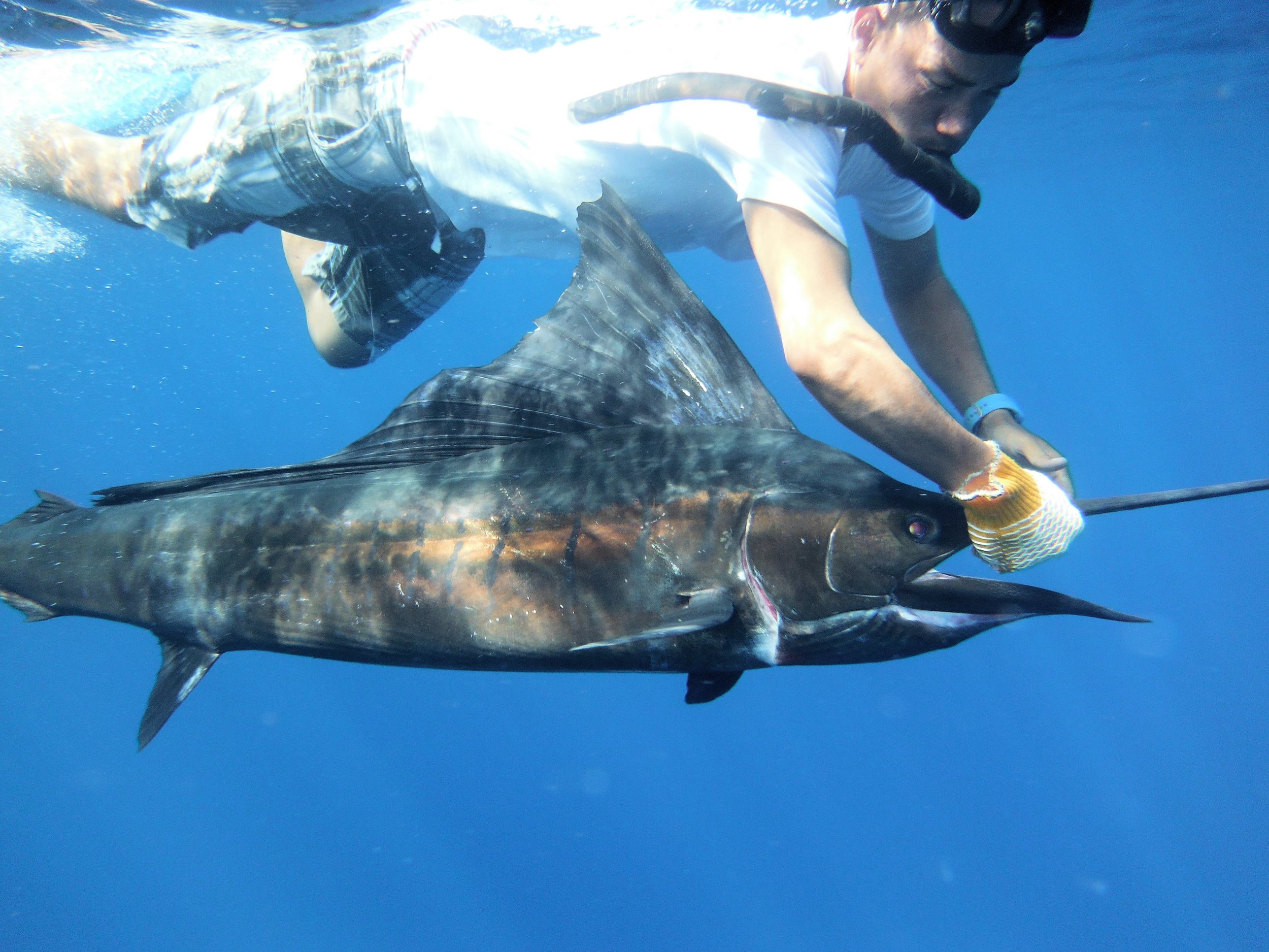 captain Kelvin reviving & releasing sailfish