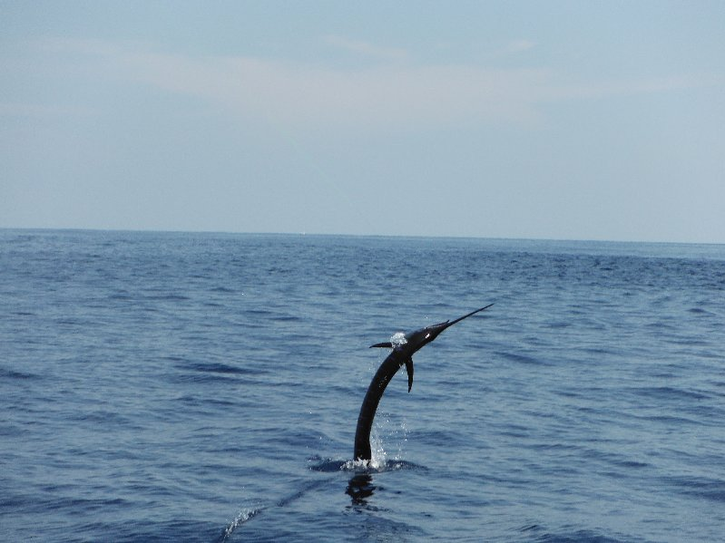 February 6 - The Moonwalker boated 12 sailfish and 2 Dorado for today's charter clients.