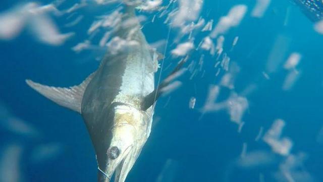 marlin fishing quepos
