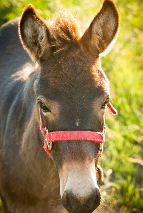 One of the burros, Catherine Anne