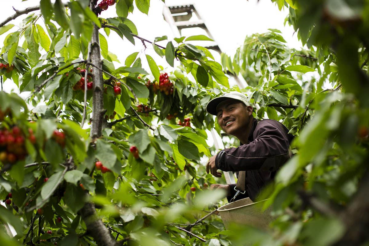 Universal Forest Product, The Dalles, Oregon, Cherry Harvest.