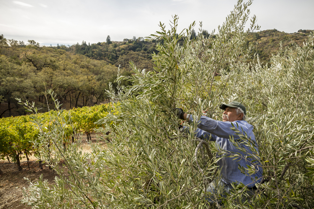 "On November 5th, 2015 in Healdsburg, CA, Farm Manager Juan Valladares, known as ""The Olive Whisperer"" harvests olives by hand for DaVero Farms & Winery, a Biodynamic family farm producing small lots of Italian wine and olive oil in the Dry Creek Valley. Owned by QuickBooks creator Ridgely Evers and his wife Colleen McGlynn their goal is to create a farm-based business that is economically, agriculturally, and environmentally sustainable. Valladares helped them plant their first olive trees in 1990. Located in Sonoma, the1768-square mile county is chocked full of wineries, dairies, micro-distilleries, bakeries, restaurants, gardens, and orchards.