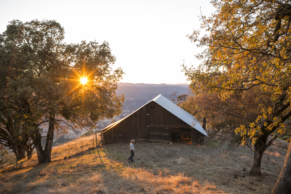 On November 6th, 2015 in Yorkville, CA, Rancher Tommy Otey looks out over the Anderson Valley at Acorn Ranch, comprised of 2,000 acres of mostly mixed oak forest and savanna.  This is where he raises Cinta Sonoma, known by their white belts, which come from the Cinta Senese, a rare and ancient breed of pig from Tuscany.  In 2012, Mimi and Peter Buckley, owners of Front Porch Farm and Acorn Ranch, had the pigs brought from Italy to start up their own forest raised pork business, the only place in the US that raises the breed which is then sold to local Sonoma restaurants and at farmer's markets.  Otey said it was the view that convinced him to take the job. 
