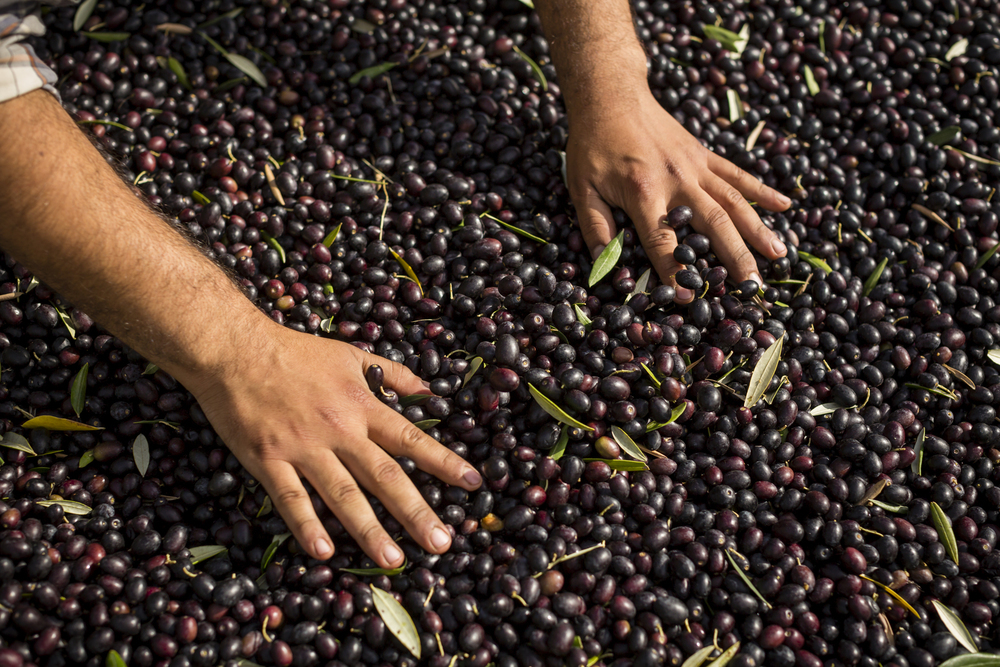 On November 5th, 2015 in Healdsburg, CA, Arturo Valladares, harvests olives by hand for DaVero Farms & Winery, a Biodynamic family farm producing small lots of Italian wine and olive oil in the Dry Creek Valley. Owned by QuickBooks creator Ridgely Evers and his wife Colleen McGlynn their goal is to create a multi-generation, farm-based business that is economically, agriculturally, and environmentally sustainable. Arturo, who grew up on the DaVero home farm, is hoping to learn the trade from his father, Farm Manager Juan Valladares who helped plant the first olive trees in 1990.  Located in Sonoma, the 1768-square mile county is know for its attention to food and is chocked full of wineries, dairies, micro-distilleries, bakeries, restaurants, gardens, and orchards.