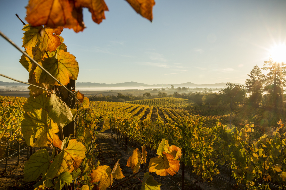 On November 6th, 2015 the sun rises over the vineyards at the family-owned Lynmar Estate in the Russian River Valley of Sebastopol, CA. A big believer in sustainable farming the vineyard manager believes that the most sustainable fertilizer is the manager's boot prints. They manicure their vines 10 times a year so that each of the 89,292 vines is hand worked. Located in Sonoma, the 1768-square mile county is chocked full of wineries, dairies, micro-distilleries, bakeries, restaurants, gardens, and orchards and is quickly becoming known as the food-iest place on earth.
