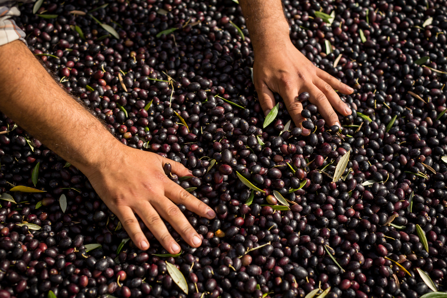 On November 5th, 2015 in Healdsburg, CA, Arturo Valladares, harvests olives by hand for DaVero Farms & Winery, a Biodynamic family farm producing small lots of Italian wine and olive oil in the Dry Creek Valley. Owned by QuickBooks creator Ridgely Evers and his wife Colleen McGlynn their goal is to create a multi-generation, farm-based business that is economically, agriculturally, and environmentally sustainable. Arturo, who grew up on the DaVero home farm, is hoping to learn the trade from his father, Farm Manager Juan Valladares who helped plant the first olive trees in 1990.  Located in Sonoma, the 1768-square mile county is know for its attention to food and is chocked full of wineries, dairies, micro-distilleries, bakeries, restaurants, gardens, and orchards.Contact: Andrew Hock, Marketing Director, 707-431-8000
