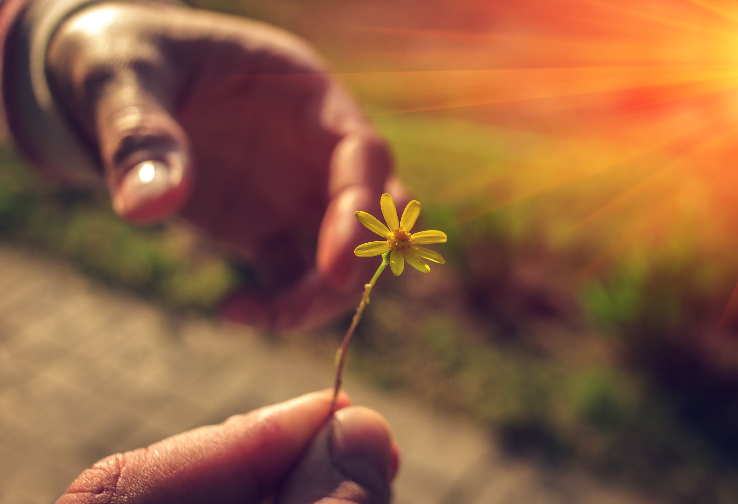 Hand gives a wild flower with love at sunset