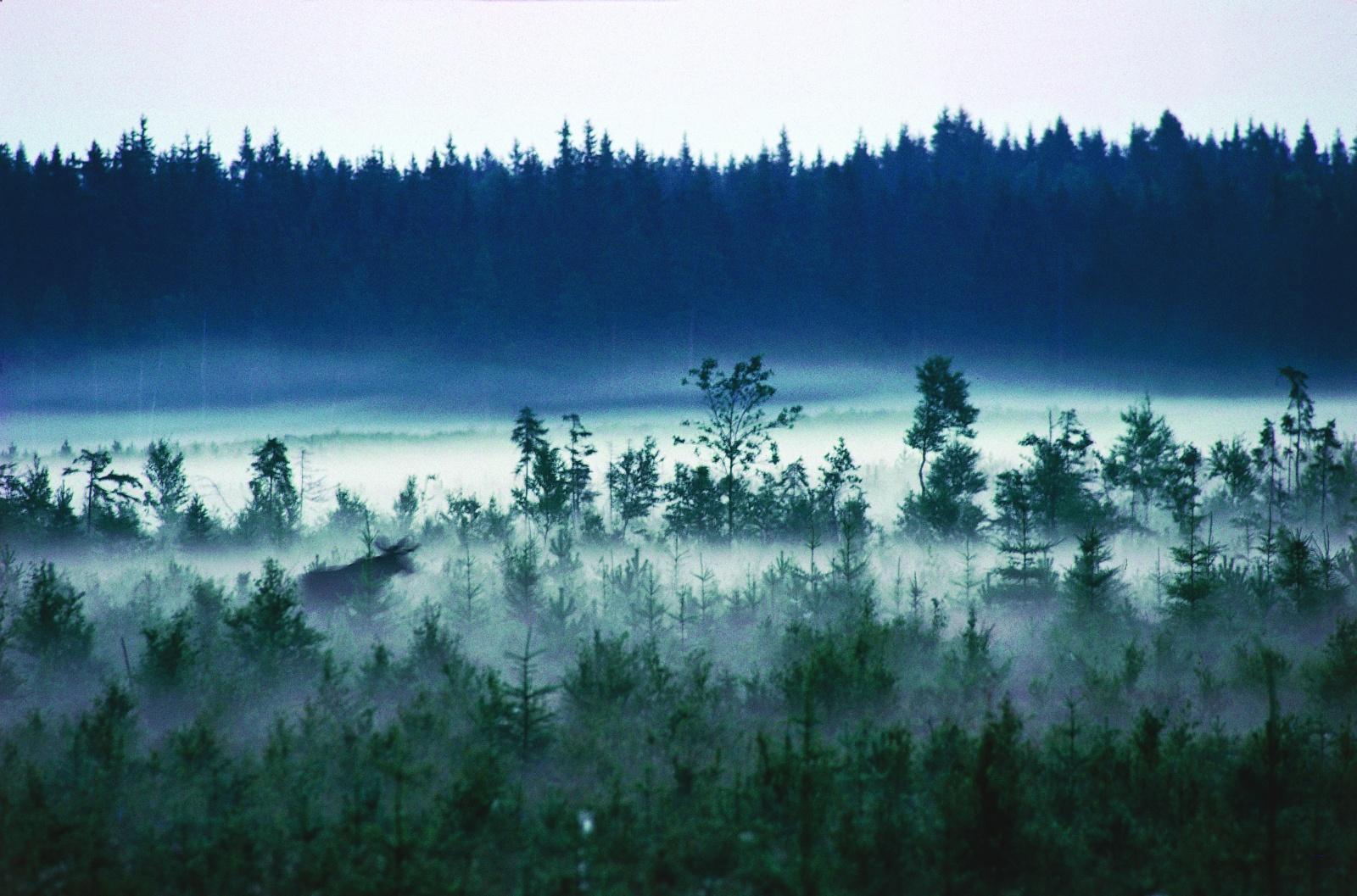 Photo: Lars Gabrielsson. Moose running in the mist