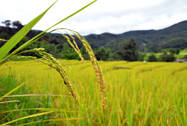 rice-paddy2.jpg